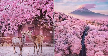 日本櫻花季盛開!粉紅花海「賞花的不是人」更像仙境❤