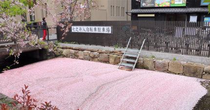 日網友捕捉「無人的春景」 河面變身「櫻花地毯」美到像仙境❤
