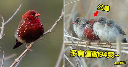樹上驚見「會飛的毛草莓」翅膀上的籽超像亂噴上去的XD