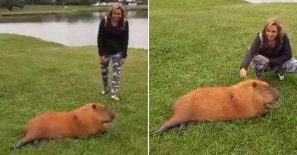 女子偷摸「殺手水豚」直接倒下 過來人警告:誰說牠無害?