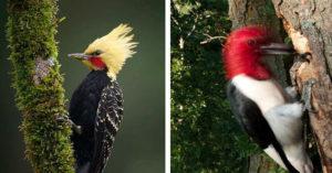 啄木鳥為何「不會腦震盪」?一秒可啄20次「不暈原因」曝光