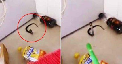 衰男上廁所遇眼鏡蛇 掃把對付後「湧出10條尋仇」嚇到投降