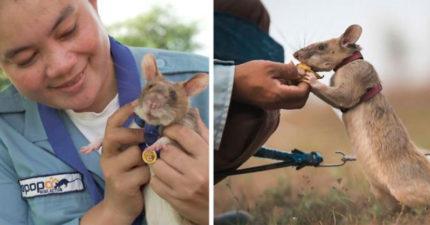 拯救萬人性命!每天進行超危險工作 史上第一隻獲頒「英勇金牌」鼠鼠