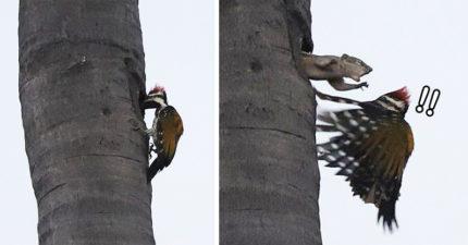 午睡被啄木鳥「咚咚咚咚」狂敲門 松鼠抓狂「一拳轟下去」:你欠揍啊!