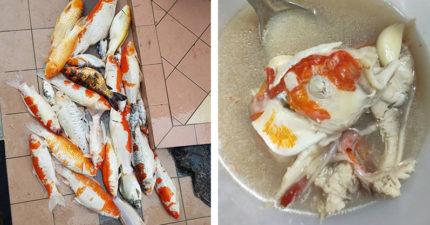 家裡「寵物錦鯉一夜全掛了」 女主人怕浪費「煮成魚湯」