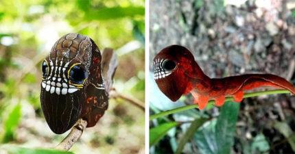 不怕被吃了!小毛蟲「恐怖骷髏面具」自帶防禦功能