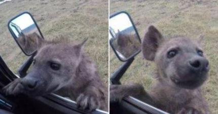 影/超萌鬣狗「趴車窗討食」撒嬌!車主看「倒後鏡」嚇傻:還好沒開門