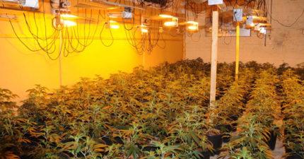 嫌父母「種芒果賺太少」 屏東果農兒「自學種大麻」市值2000萬